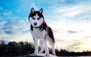 husky-wallpaper